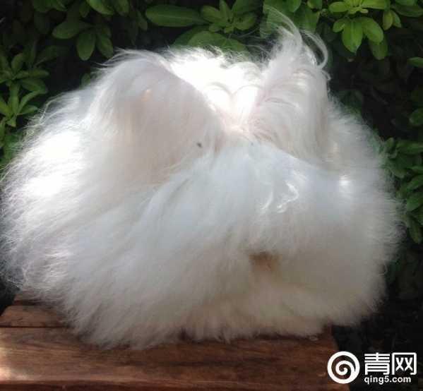 安哥拉兔兔毛价格_安哥拉兔拔毛后还活吗 安哥拉的养殖厂活体拔毛 - 驴宝宝文章网