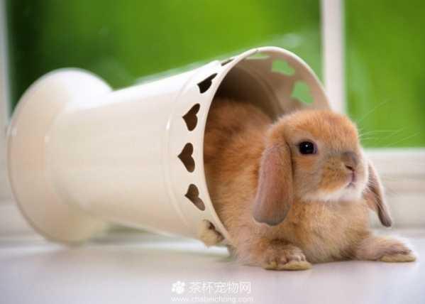 宠物垂耳兔图片茶杯兔 饲养迷你垂耳兔的注意事项