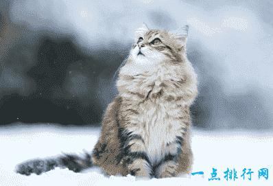 这是一只可爱的家猫,它有方形的头部和长长的头发.